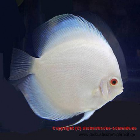 Albino Platinum Diamond